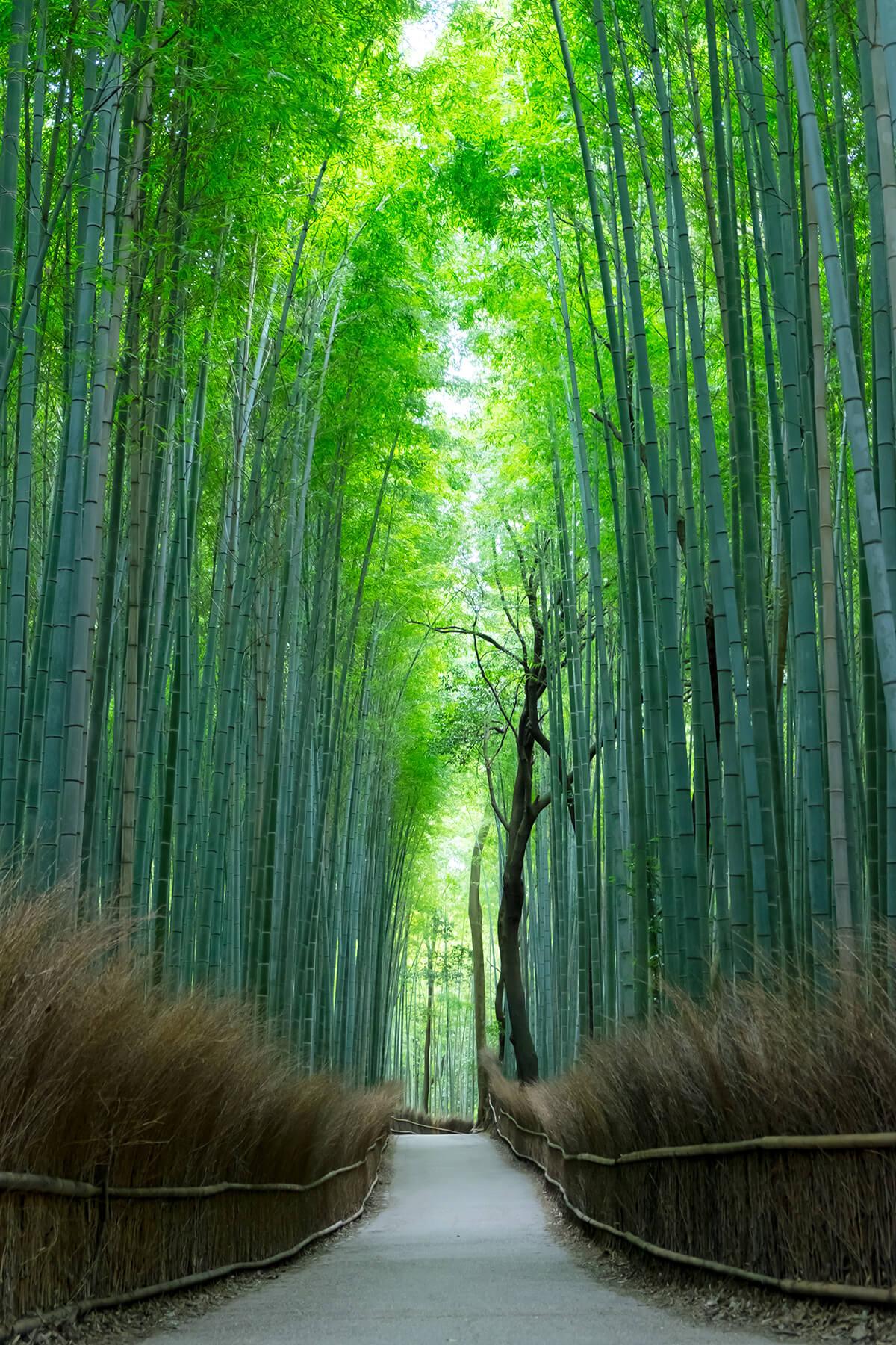 京都嵯峨野 竹林の道
