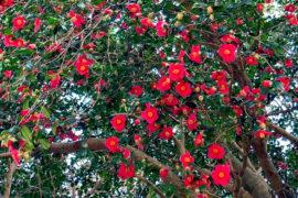 春はもうすぐそこ。伊豆大島を彩る椿とオオシマザクラ